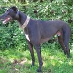 bodger-black-dog-male