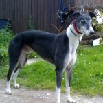 parker-black-and-white-dog-male