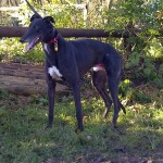 picture of Ben the Greyhound