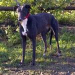 Image of Elsie the greyhound