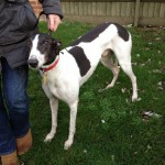 Picture of Greyhound - Jeeves