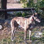 Picture of Courney Greyhound