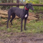 Photograph of Holly the greyhound