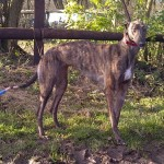 Picture of Ivy the greyhound