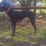 Photo of Alfie greyhound-black-male