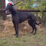 Picture of B izzle the greyhound -black-male