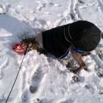 Photo of Jack foster dog