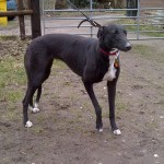 Picture of Rose the greyhound