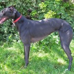 Picture of tara Greyhound