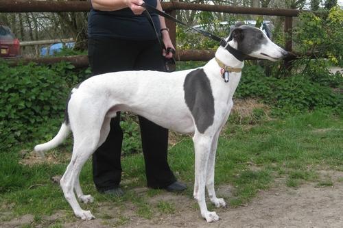 Cody greyhound