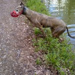 Jack greyhound after his swim
