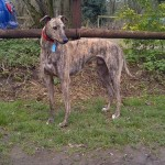 Brindle greyhound male Matty