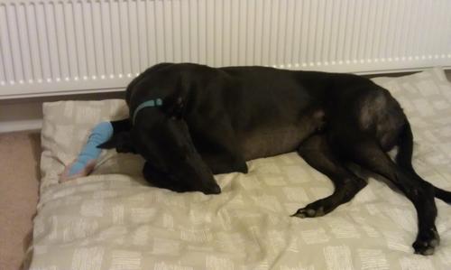 Dodger greyhound injured