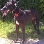 Noo Noo-greyhound-black