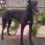 black greyhound Jet