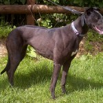 Jewel greyhound black