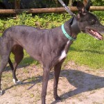 photo of Ginny greyhound