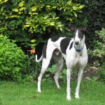 Jimi greyhound
