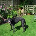 Photo of Lady greyhound