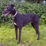Bailey greyhound black