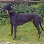 Bolt the black greyhound boy