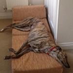 Matty greyhound in bed