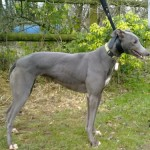 Dotty greyhound blue