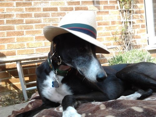 Paddy greyhound