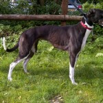 Teasel black and white greyhound