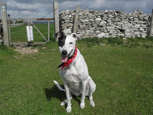 Tracy greyhound