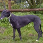 Poppy greyhound black