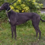 Josie greyhound black