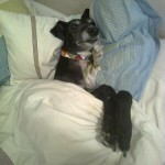 Lady greyhound in bed