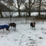 greyhounds playing in snow 1