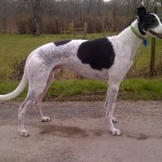 Ash greyhound male