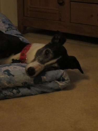 Penny's Blog Suzie Greyhound