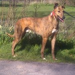 Max greyhound red brindle