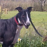Rory greyhound black and white male