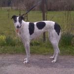 Rosa greyhound girl