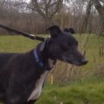 Sonny greyhound male black