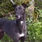 Bobby black male greyhound
