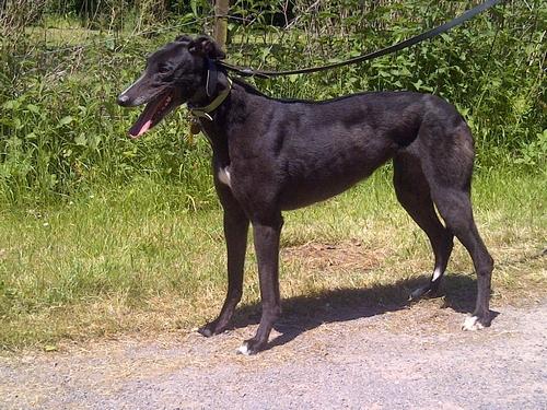 Raquel the greyhound