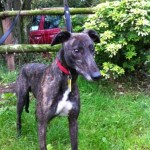 Roger greyhound brindle small