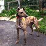 Tia female brindle