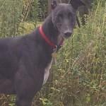 Wallace greyhound black male head