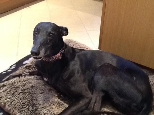 Annie greyhound black