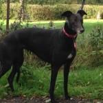 Rosie greyhound shy