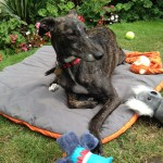 Little Reggie one of the RGT sponsor dogs.